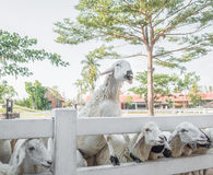 Bunch of sheeps crowded on fence. Waiting for food Royalty Free Stock Photography