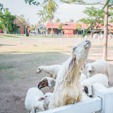Bunch of sheeps crowded on fence. Waiting for food Royalty Free Stock Image