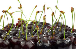 Bunch of shiny fresh black sweet cherries Stock Photos