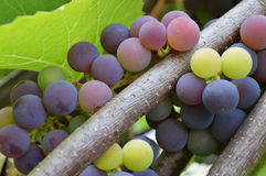 Bunch of Shiraz grapes on vine Stock Photo