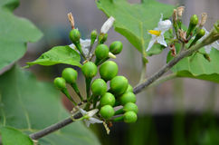 Bunch of small eggplant fruits and flowers Stock Photos