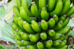 Bunch of small green bananas. Detail of a bunch of small bananas growing on a banana tree Stock Photos