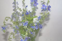A bunch of small spring wildflowers on a grey background. A bunch of tiny spring blue wildflowers on a grey background royalty free stock image