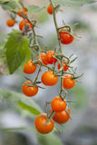Bunch of small tomatoes hanging from plant Stock Image