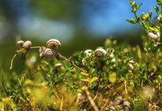 Bunch of snails. On plants Royalty Free Stock Photography