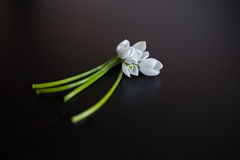 Bunch of snowdrop flowers on black background Royalty Free Stock Image