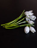 Bunch of snowdrop flowers on black background Stock Photography