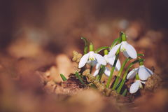 Bunch of Snowdrop Flowers Stock Photo