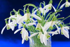 Bunch of snowdrop (Galanthus nivalis) flowers Royalty Free Stock Photography