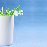 Bunch of snowdrops Stock Images