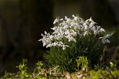 Bunch of snowdrops Stock Photography