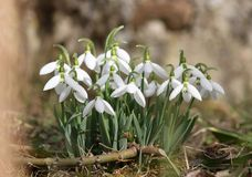A bunch of snowdrops Stock Photography