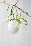 Bunch of snowdrops in  egg shell. Stock Images