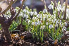 Bunch of snowdrops Stock Photo