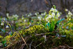 Bunch of snowflake flowers on a mossy hump. Lovely springtime background Royalty Free Stock Photo