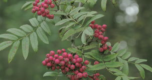 Bunch of Sorbus aucuparia fruits that are pinkish in color FS700 4K stock video footage