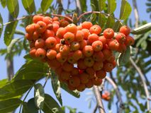 Sorbus aucuparia fruits. The bunch of Sorbus aucuparia fruits royalty free stock photo