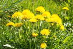 Bunch of sow-thistle at the summer meadow Royalty Free Stock Images