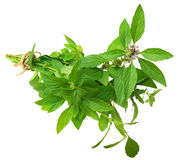 A bunch of spicy mint Royalty Free Stock Image