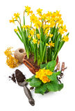 Bunch spring blossom yellow narcissus in wicker Stock Images