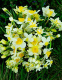Bunch of Spring Daffodils Stock Photography