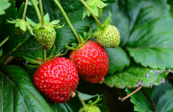 Bunch of strawberries. In an orchard stock images