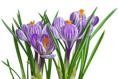 Bunch of stripy crocuses. Isolated on the white background stock images