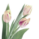 Bunch of stripy tulips isolated on white, tinted image Stock Photography
