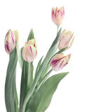 Bunch of stripy tulips isolated on white, tinted image Stock Images