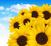 Bunch of sunflowers Stock Photos