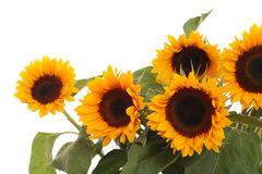 Bunch of sunflowers Royalty Free Stock Images