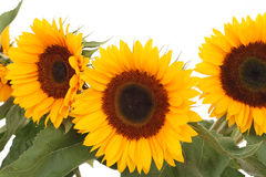 Bunch of sunflowers Stock Photo