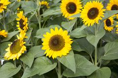 Bunch of Sunflowers. Multiple Sunflowers in a field stock image