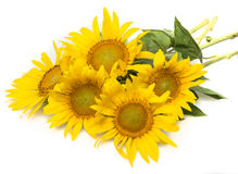 Bunch of sunflowers Royalty Free Stock Image