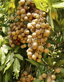 Bunch of sweet longan fruit Stock Image