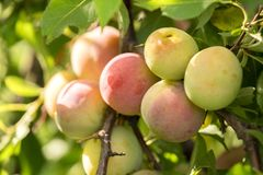 A bunch of sweet plums ripening on a branch with leaves in summe Stock Photography