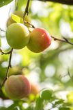 A bunch of sweet plums ripening on a branch with leaves in summe Royalty Free Stock Photos