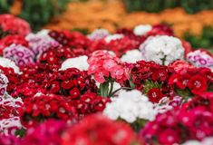 A bunch of Sweet William Dianthus barbatus flowers, red, pink Stock Images