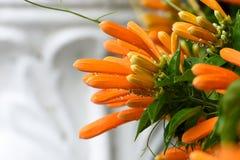 Orange golden shower buds stock images