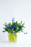 Bunch of tender squill scilla, galanthus blue flowers in a glass with water Stock Photography