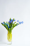 Bunch of tender squill scilla, galanthus blue flowers Royalty Free Stock Photography