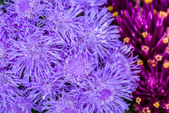 Bunch of thistle flower in summer time Stock Photos