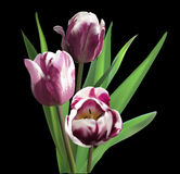 Bunch of three dark tulips on black Royalty Free Stock Images