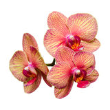 Bunch of three gentle phalaenopsis Royalty Free Stock Photos