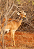 A bunch of three Impala Antelopes Stock Photography