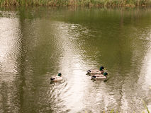 A bunch of three male mallards swimming down the stream river in Stock Images