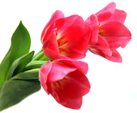 Bunch of tulips. A bunch of three pink tulips on a white background Royalty Free Stock Photography