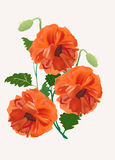 Bunch of three red poppy flowers Royalty Free Stock Images
