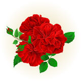 Bunch Three red roses with a bud vintage hand draw festive background vector. Illustration Stock Photography