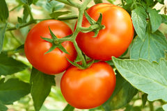 Bunch with three red tomatoes Royalty Free Stock Photos